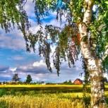 Деревня,пгеница,поле,берёза.jpg