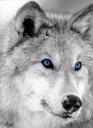 Синеглазый волк